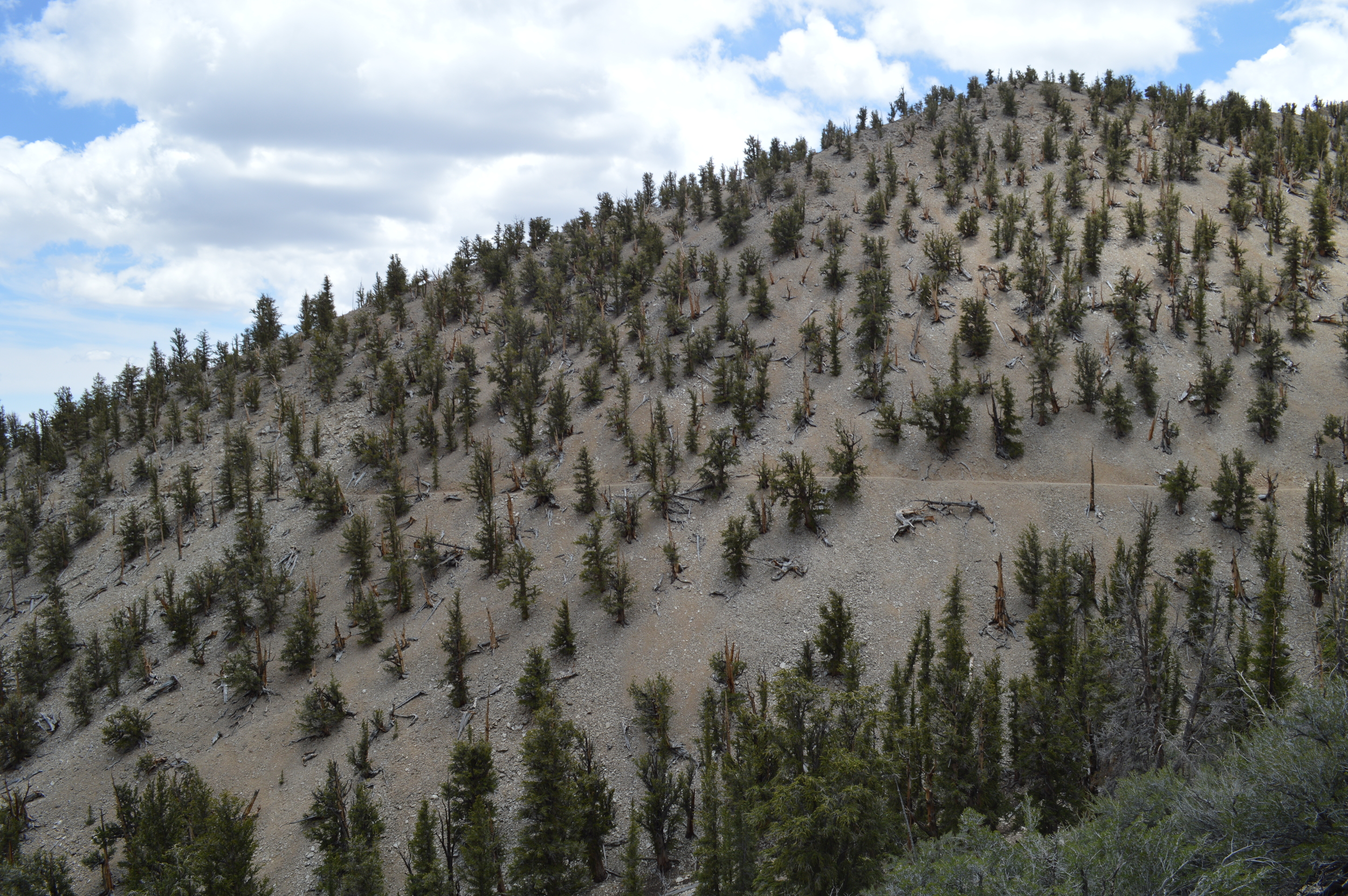 From a distance. Grove of ancient bristlecones on California's White Mountains Methuselah Trail