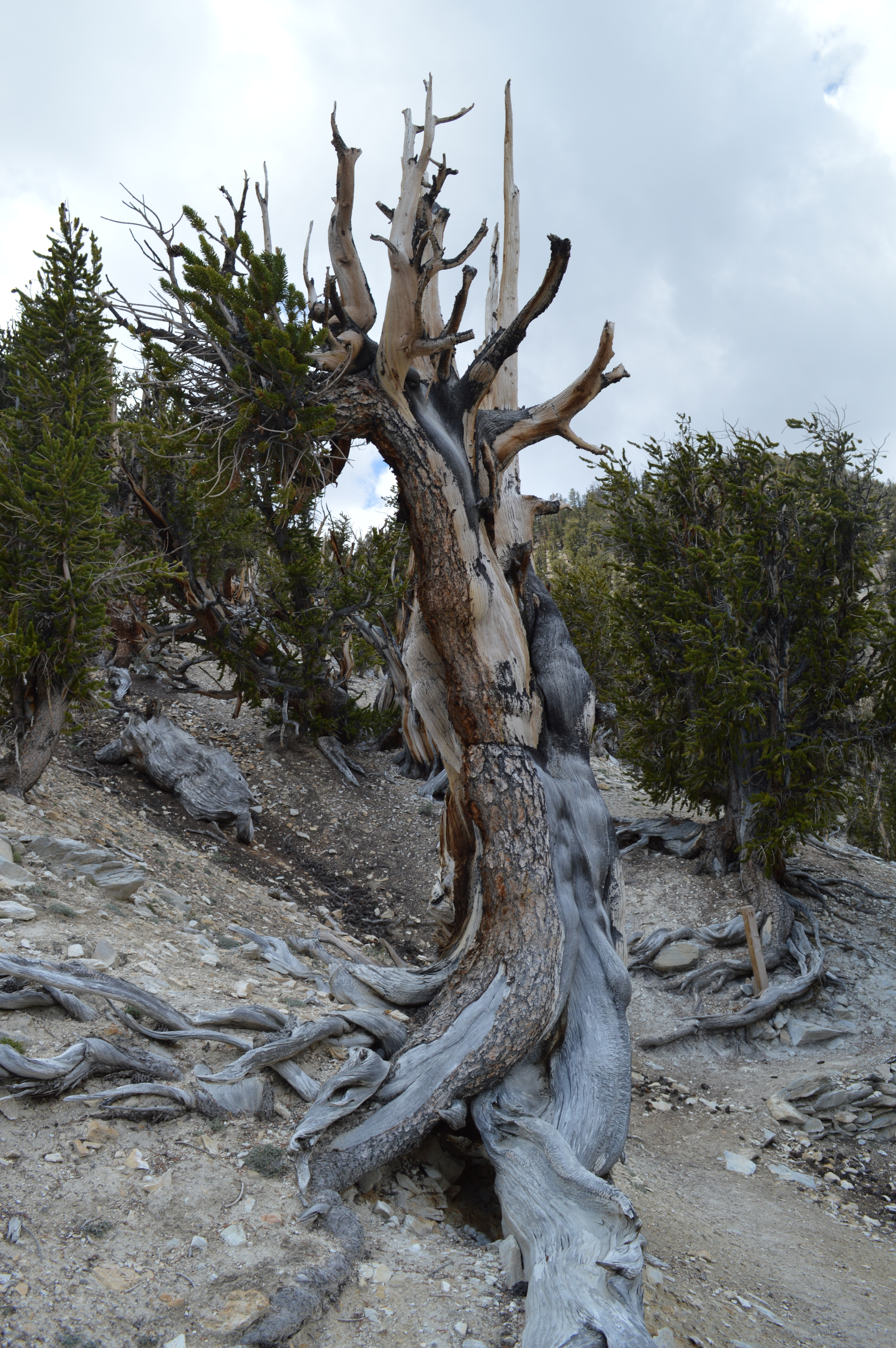 Life-blood-bark-strips on an ancient bristlecone.  4000+ yr old tree in California's White Mountains Methuselah Grove.