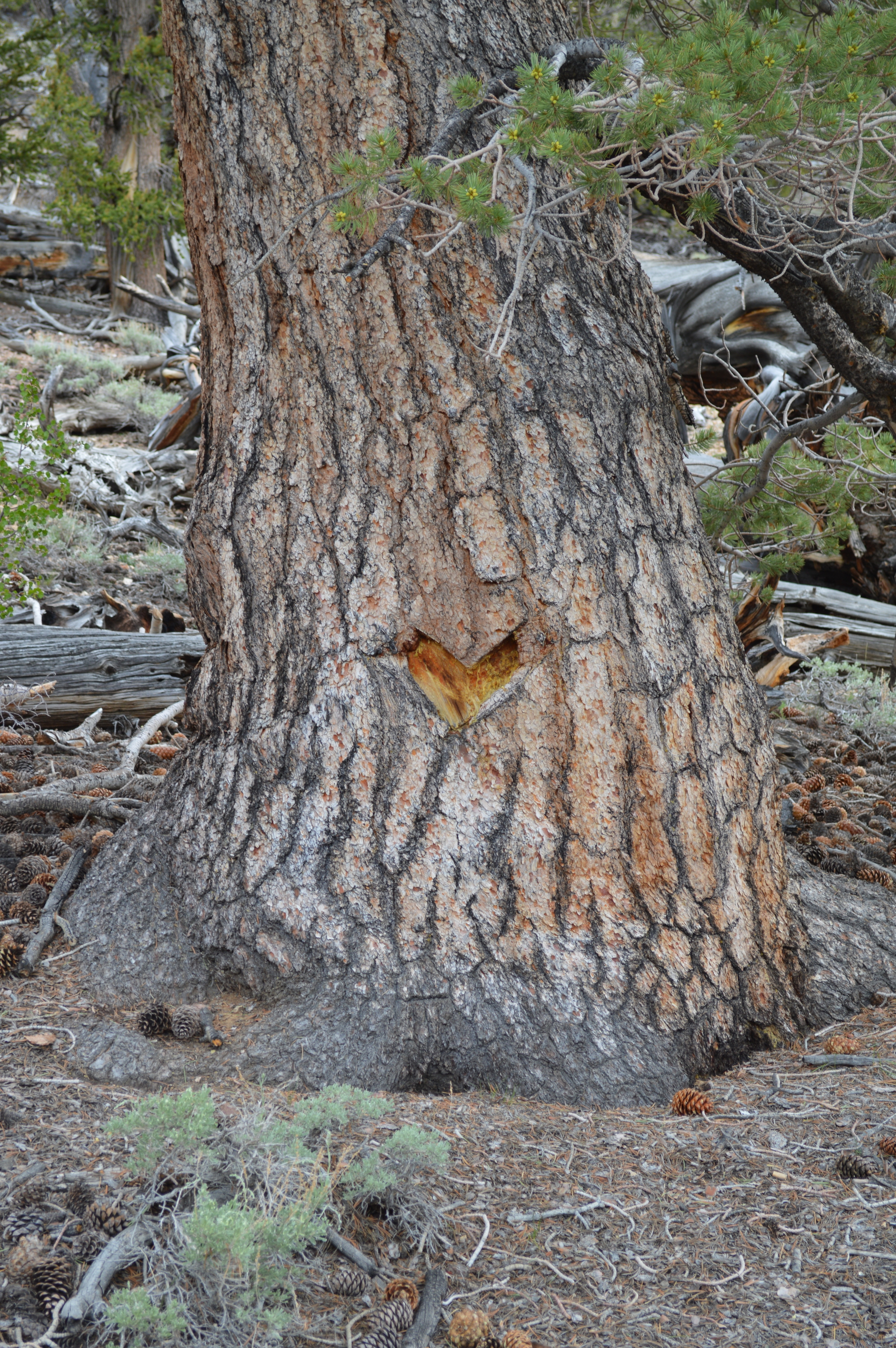 Tree vandals in the 21st century, a heart symbol knifed into the bark of a bristlecone in California's White Mountains.