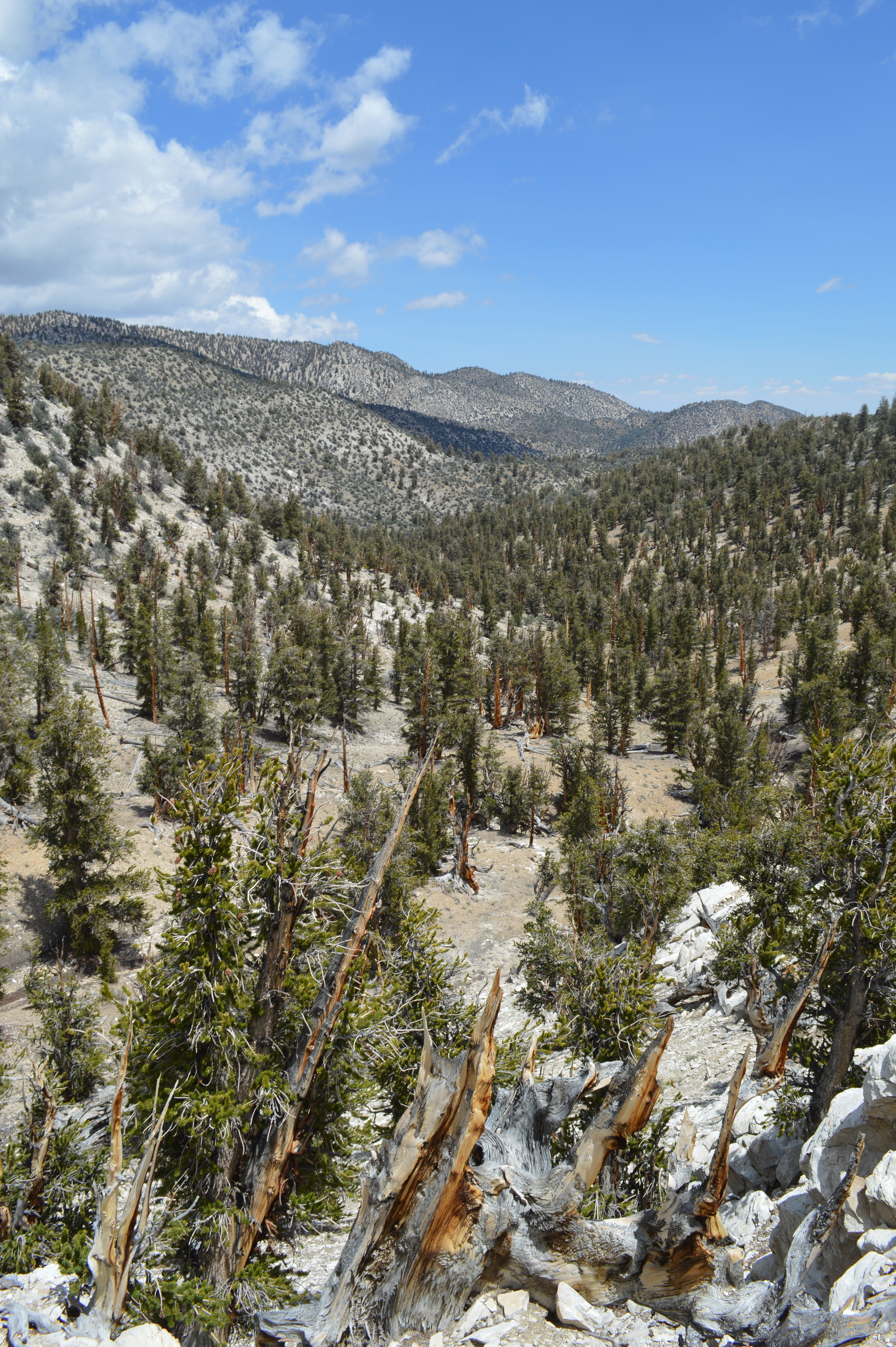 Bristlecone groves on the Methuselah Trail