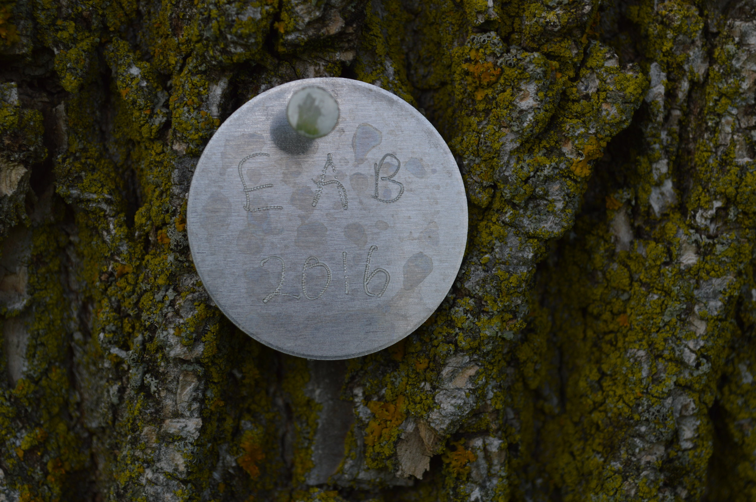 EAB tag on living ash.  Soldiers Field Park.  Rochester, MN