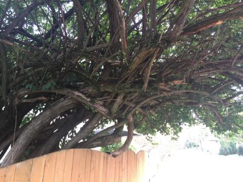 A twisty tree