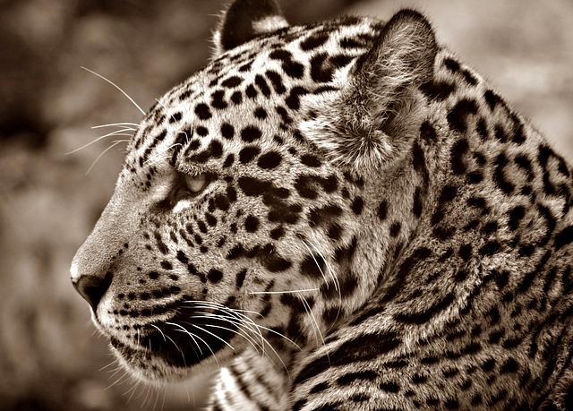 Óscar el jaguar sabio
