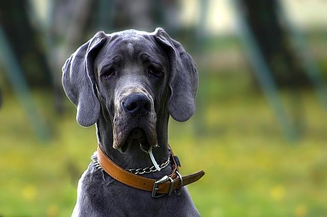 Spanish vocab: Un perro grande.