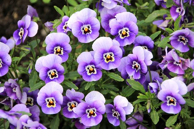 El morado era el color favorito de Violeta.