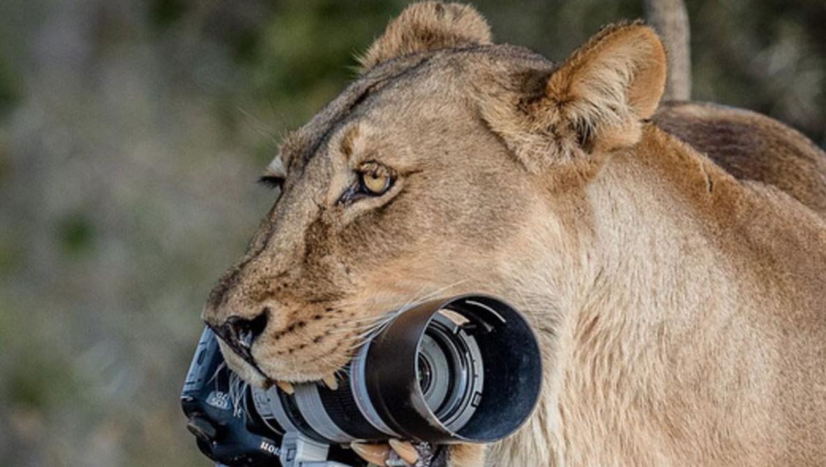 lioness-cubs-steal-camera-wildlife.jpg