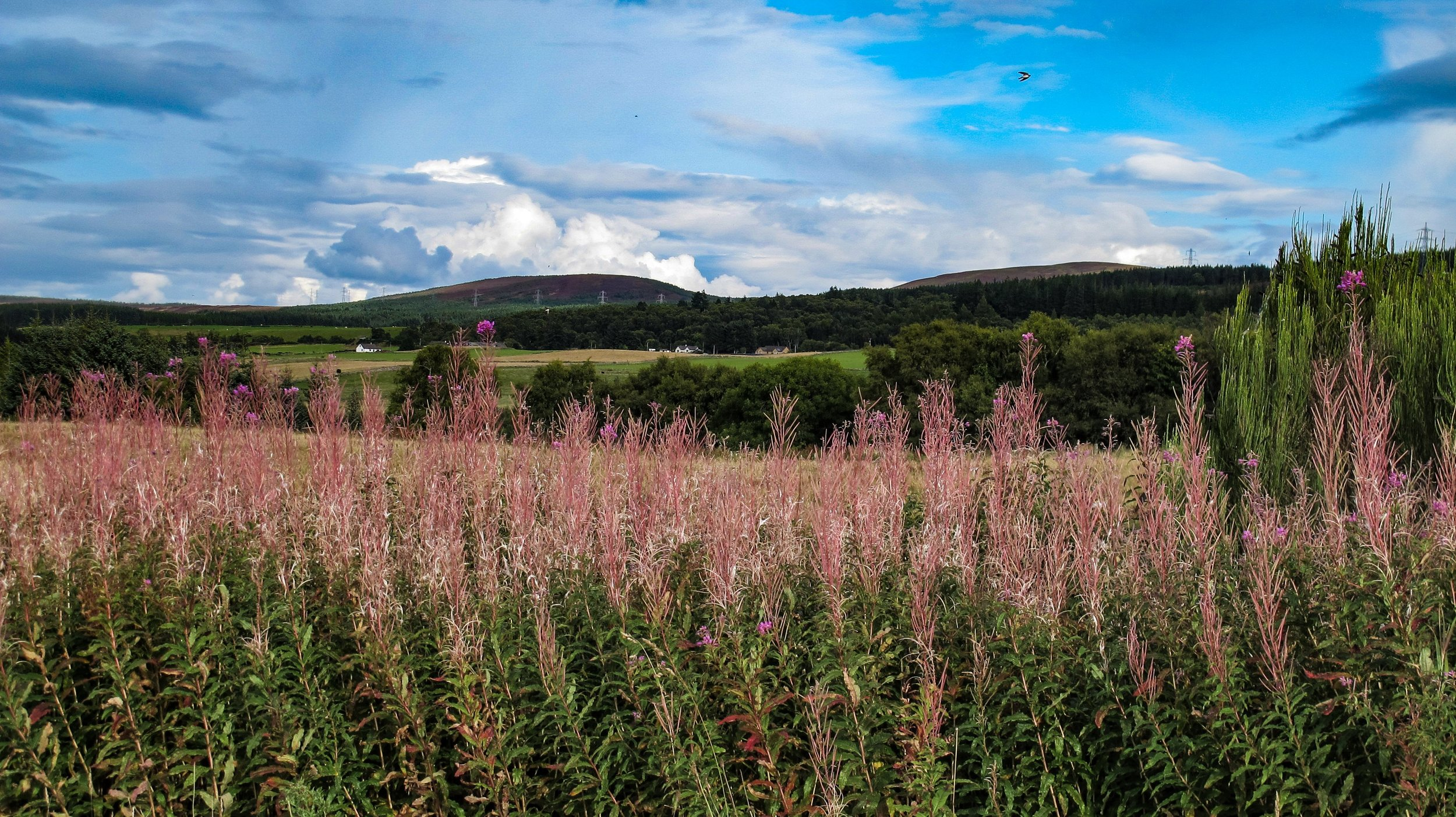 Fireweed or Willowherbs, Culloden
