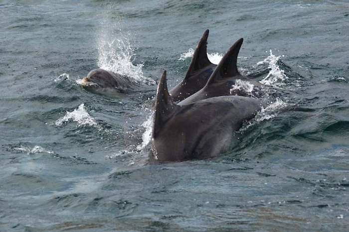 dolphins_on_scottish_cruise_off_tobermory.jpg