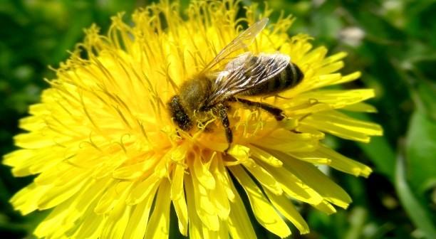 Carniolinan-Bee_Dunja.Wedam_2999_orig-612x336.jpg