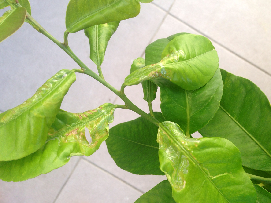Leafminer on lemon.jpg