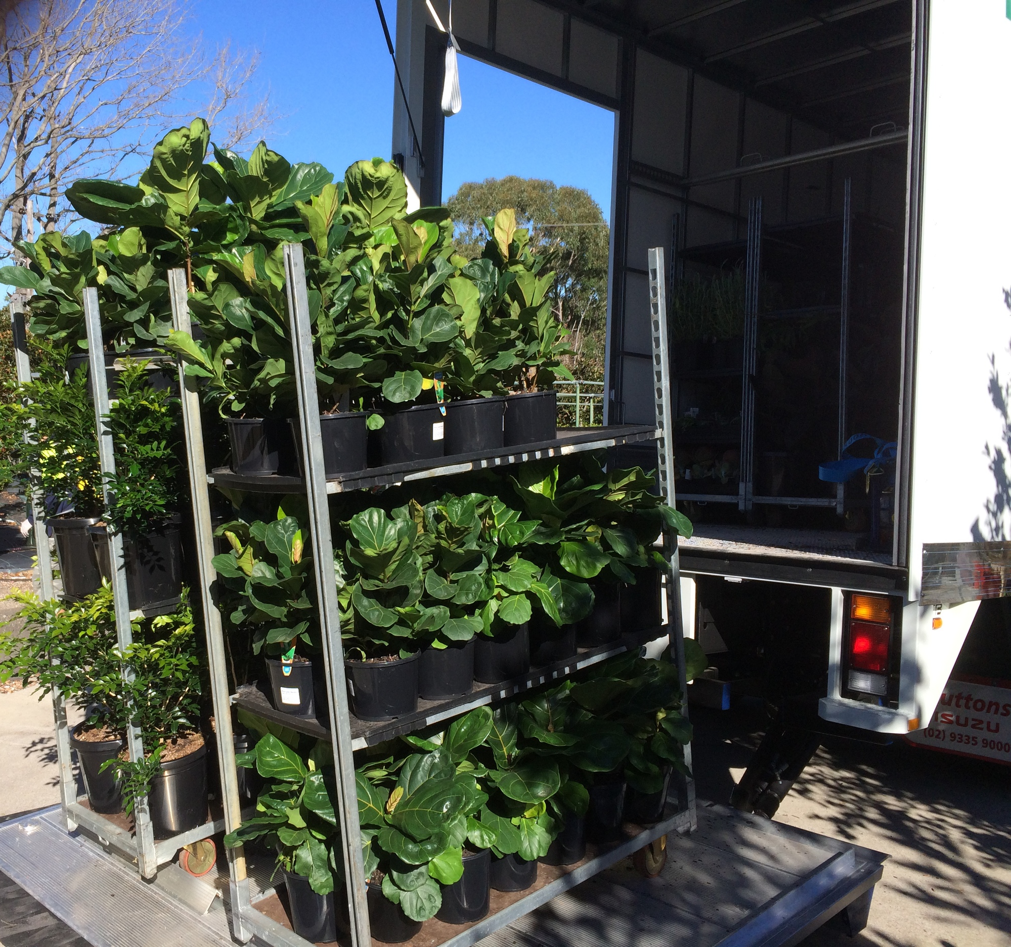 Pictured: Ficus Lyrata 'Fiddle Leaf Fig' being loaded onto our truck. These plants have been in very short demand for several years but luckily Honeysuckle has a secret source in Queensland and we have customers contacting us from far and wide to order them.