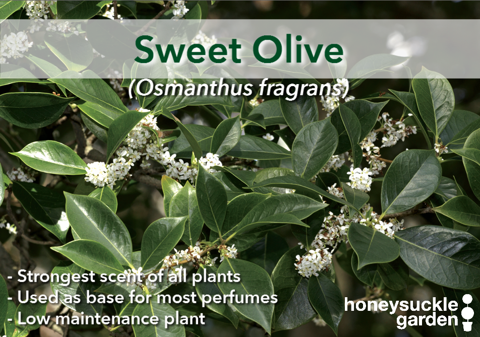 Osmanthus fragrans.png
