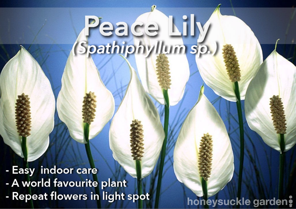 Spathiphyllum.png