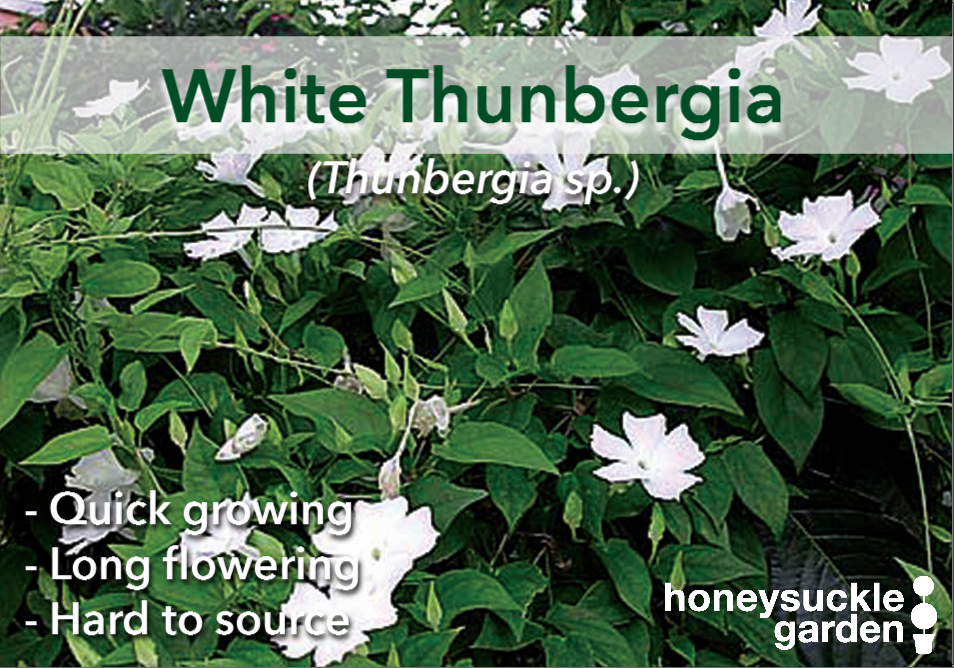 Thunbergia white.png