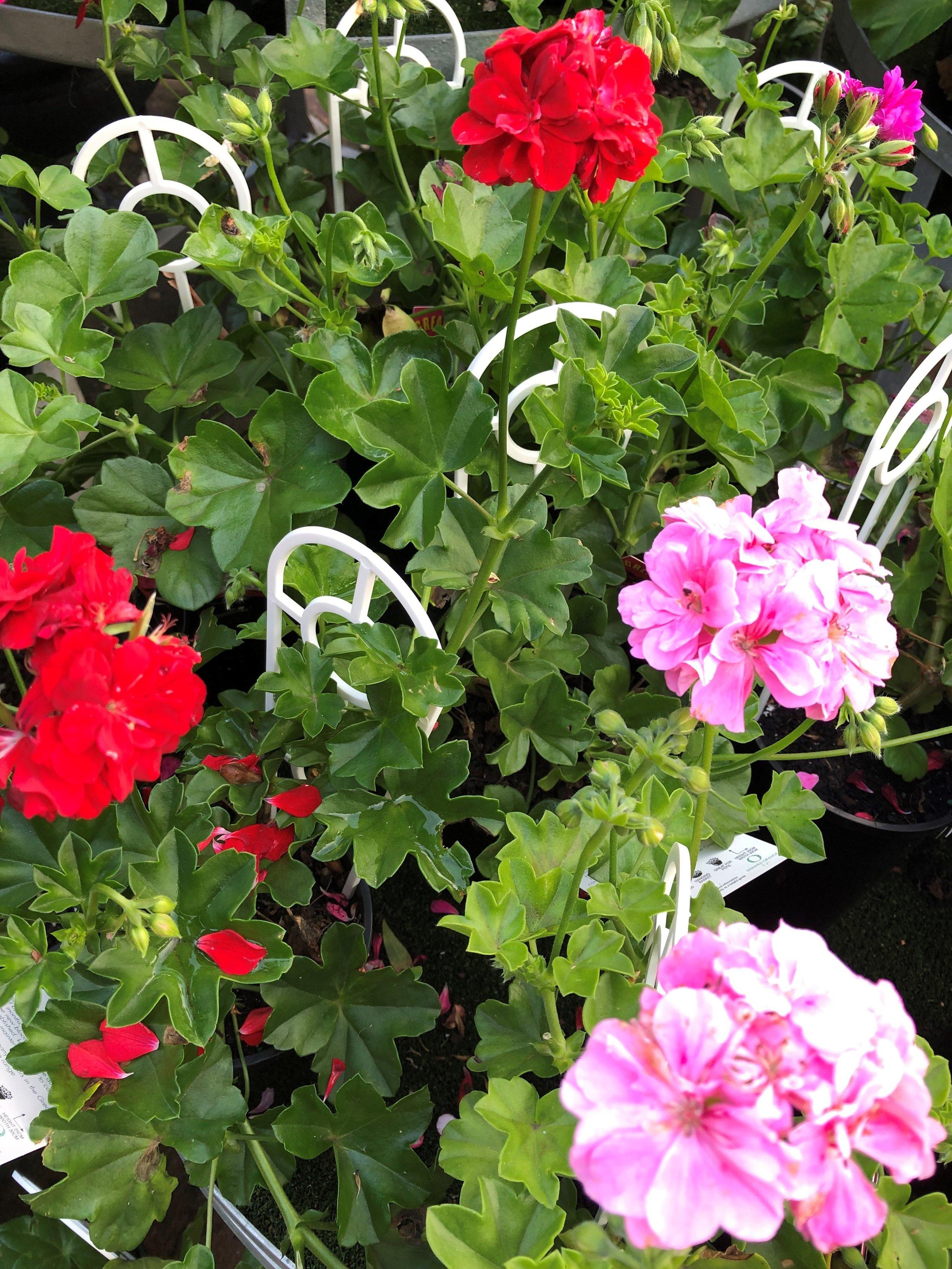 ivy geraniums 4.jpg