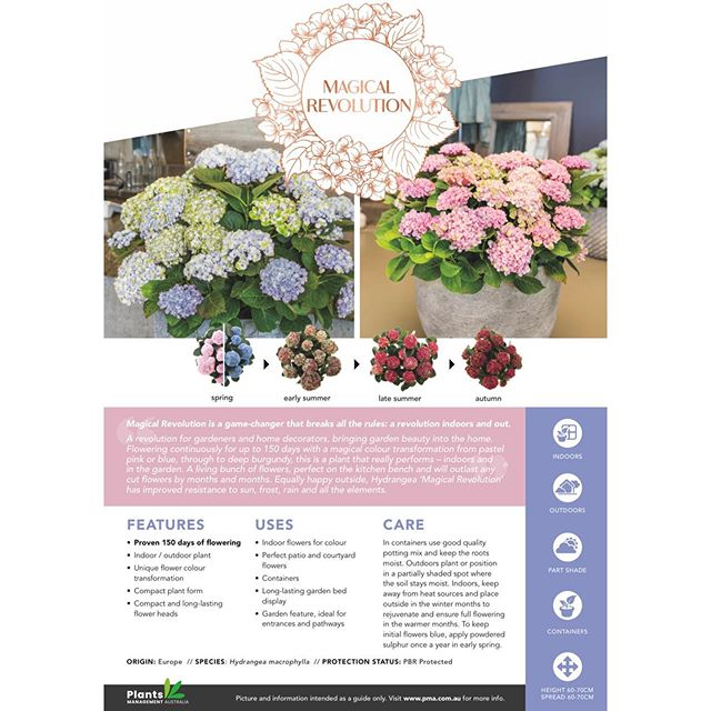Some of you guessed it from our previous post! Our exciting announcement is all about these 3 new Hydrangeas! Thanks to @plantsmanagementaustralia and a very talented grower we work with we are excited to introduce Magical Revolution (pink/blue), Magical Ruby Red (red) & Magical Pearl (white). Limited stock available as these are all new to market varieties so be sure to get in quick to avoid disappointment. #hydrangea #hydrangeamagical #hydrangeamagicalrevolution #hydrangeamagicalrubyred #hydrangeamagicalpearl #honeysucklegardenmosman #honeysucklegardenturramurra #honeysucklenurseries #plantsmanagementaustralia