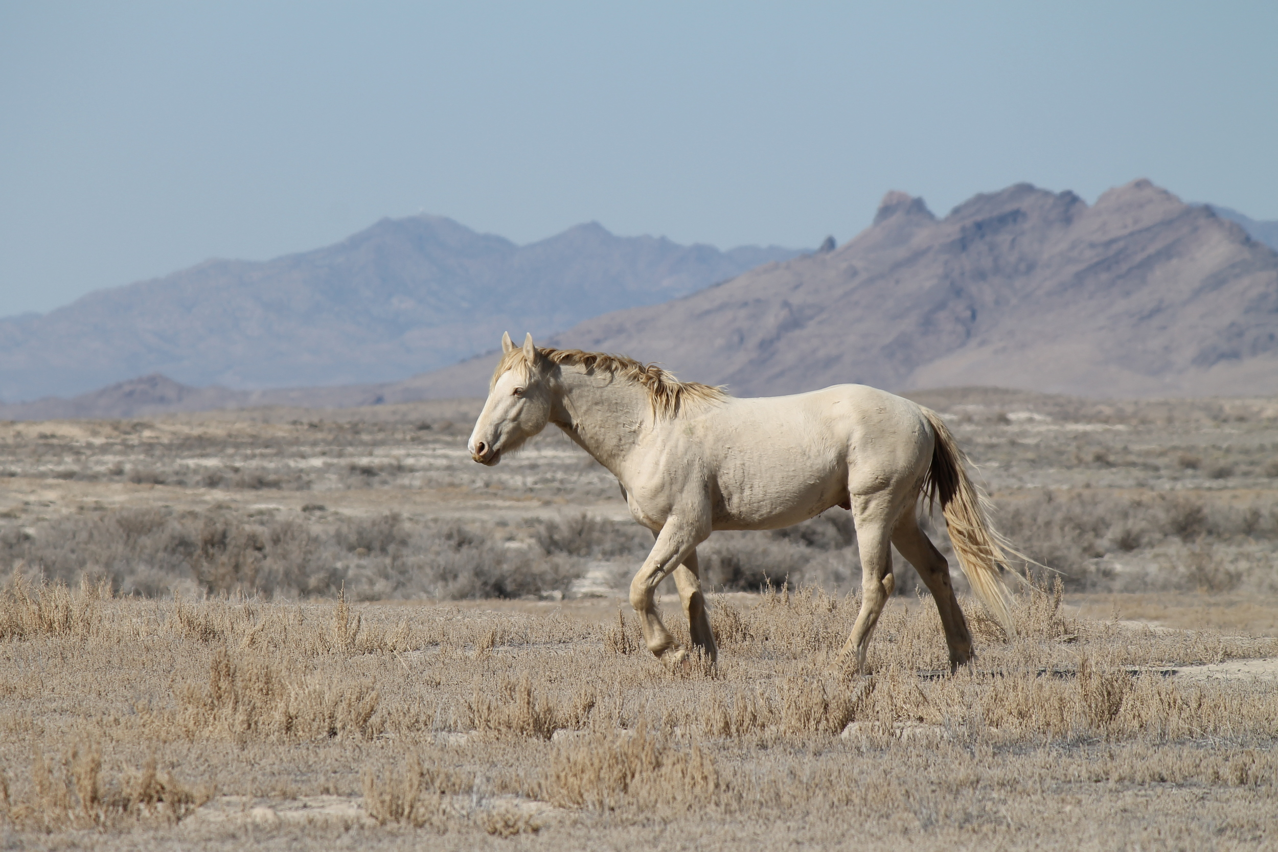 White Stallion with Blonde Mane.jpg