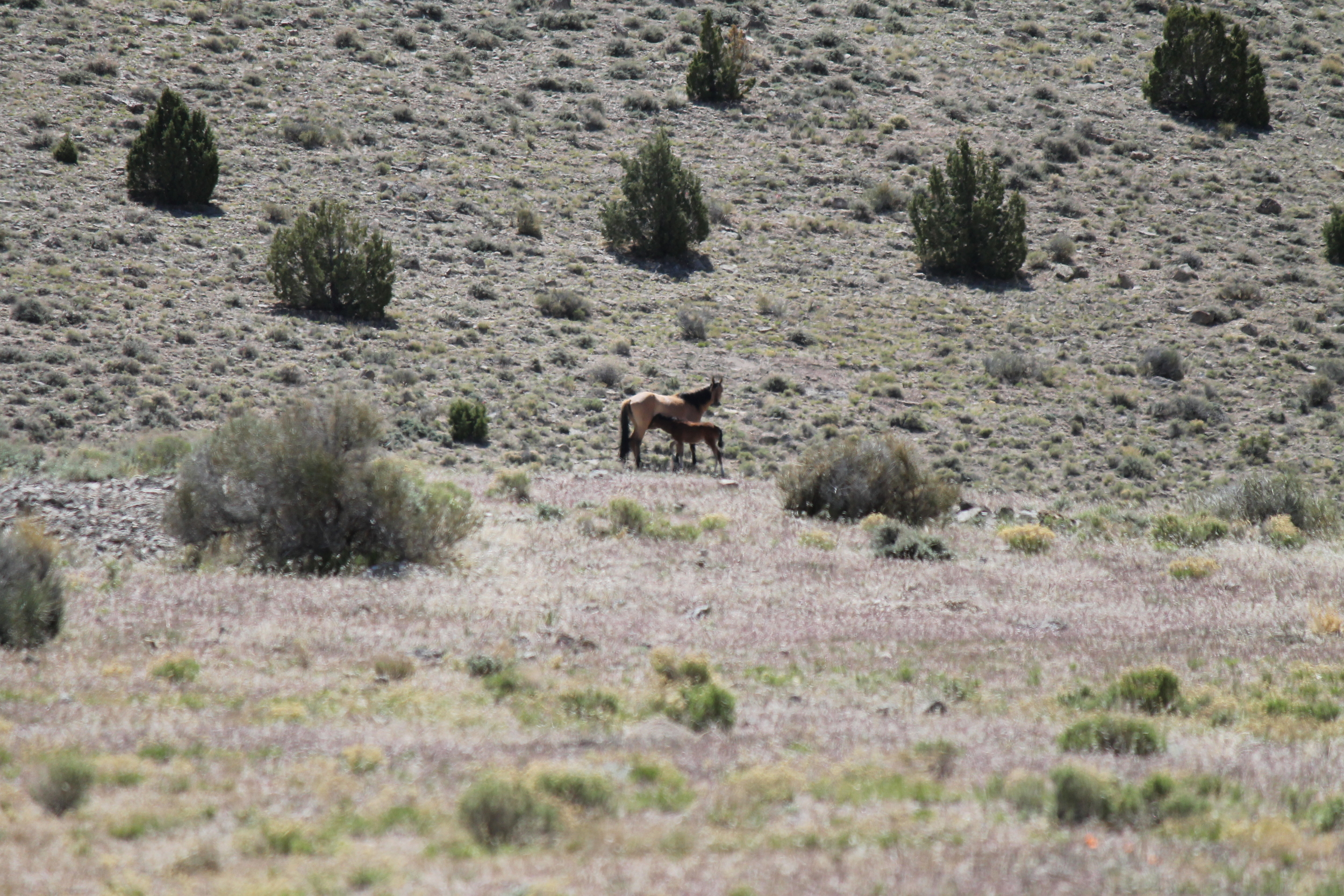 Foal suckling in Ledger Canyon.jpg