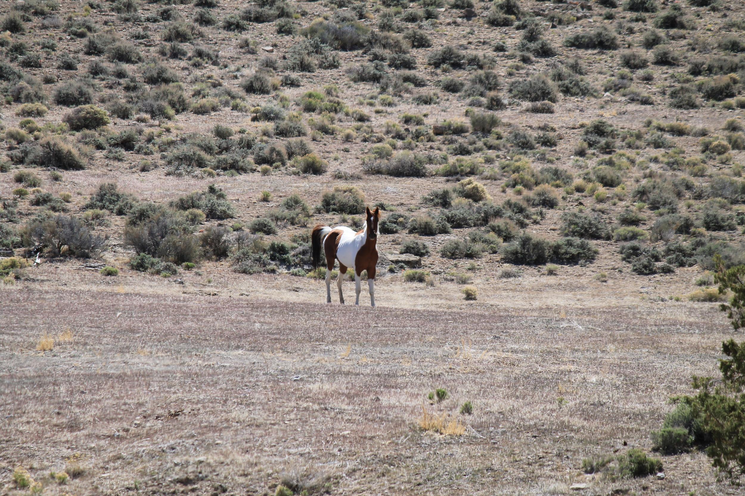 Handsom Stallion in Ledger Canyon.jpg