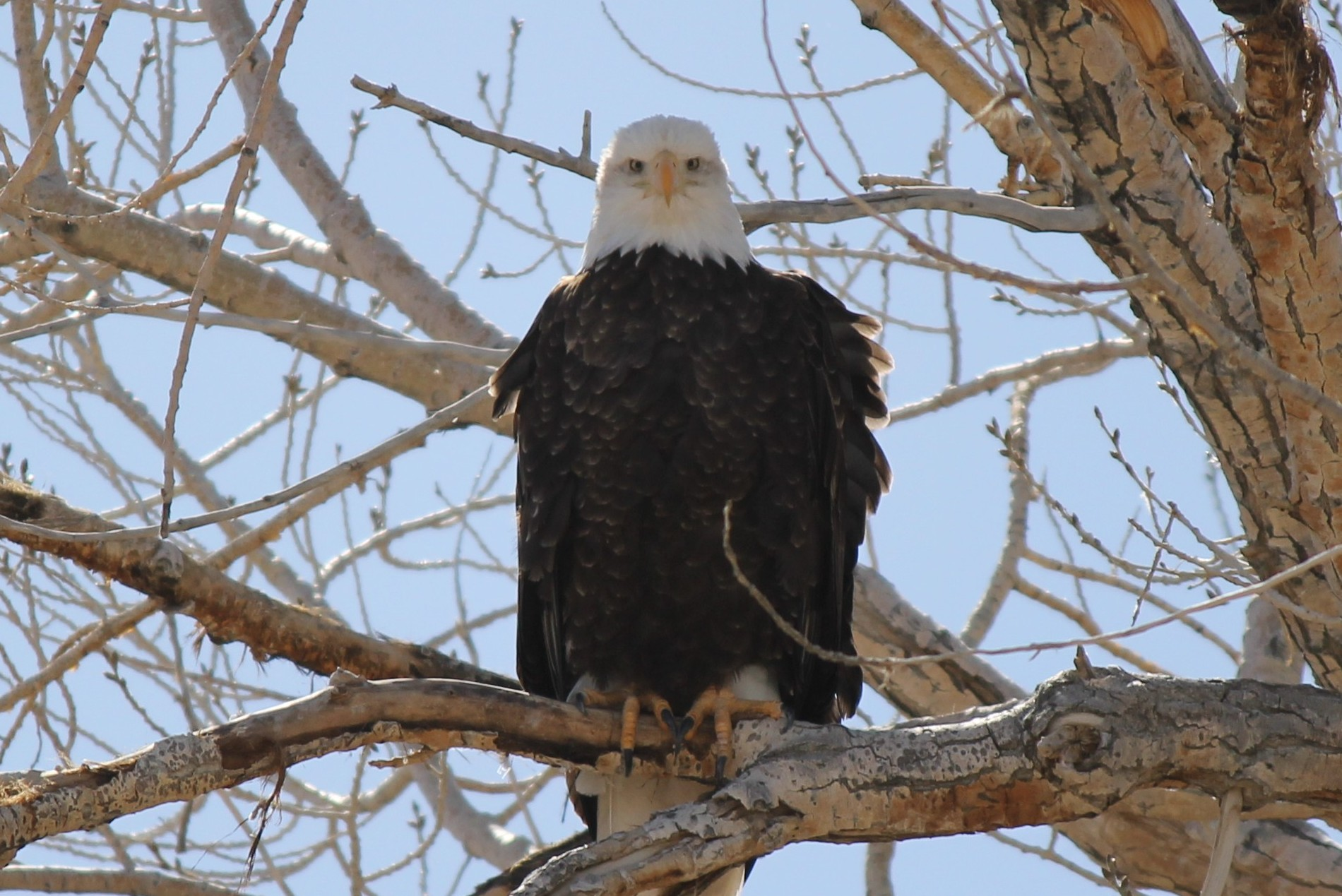 Bald Eagle at Fish Springs
