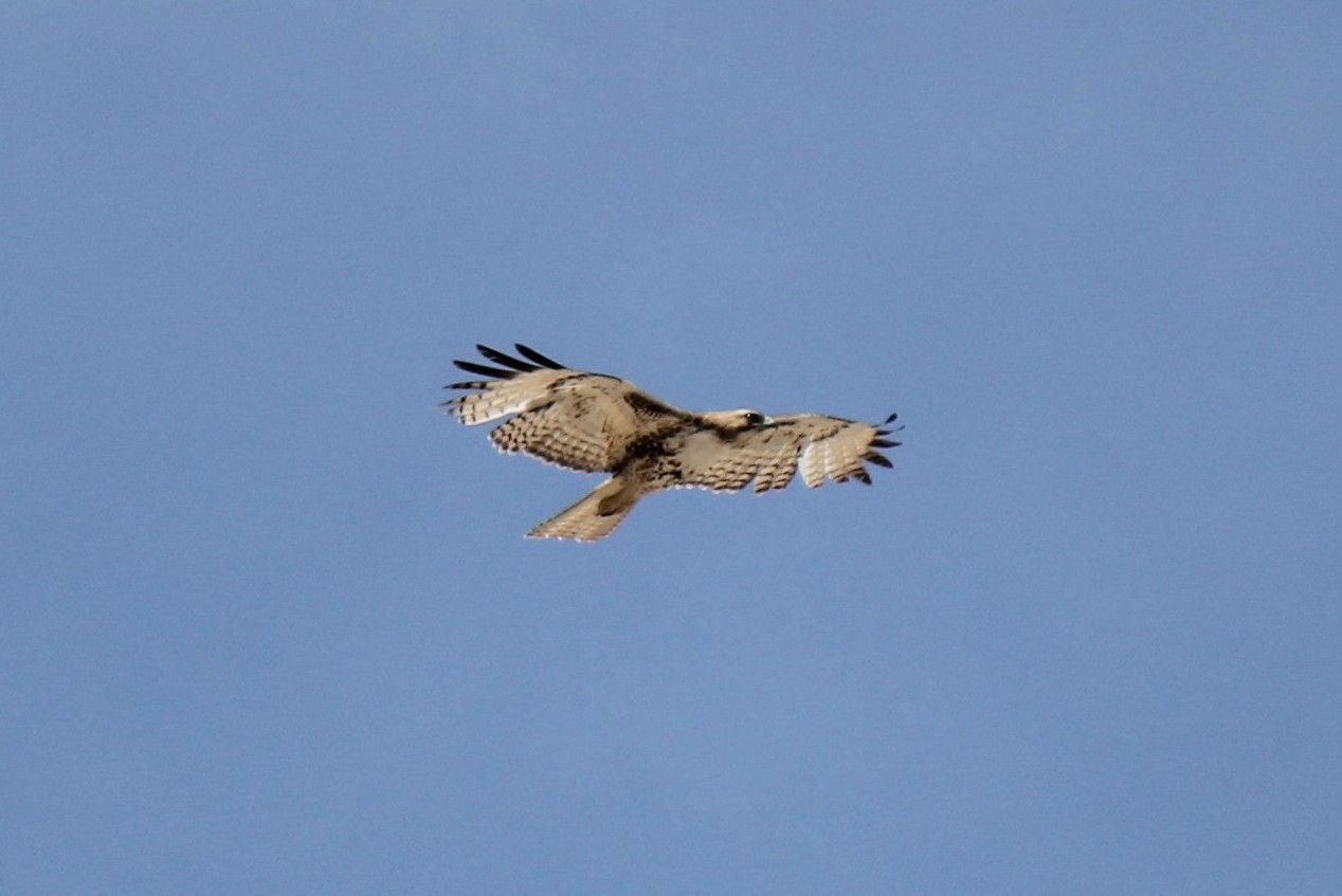 Harlan's Hawk (light morph Red-tailed Hawk)