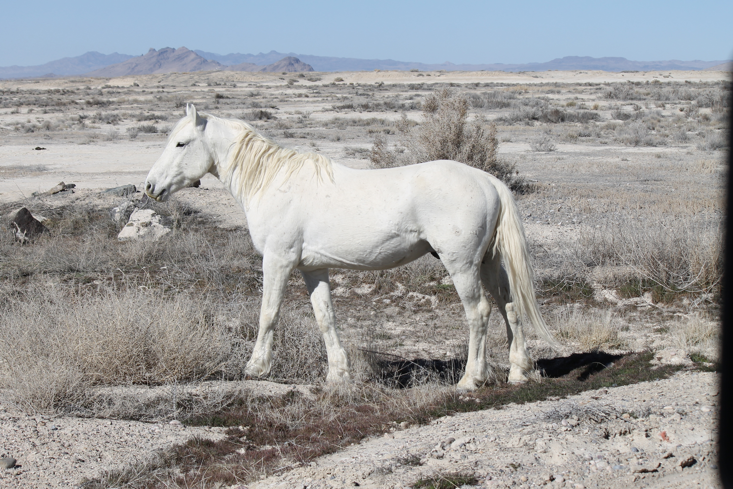 White stallion beside the road