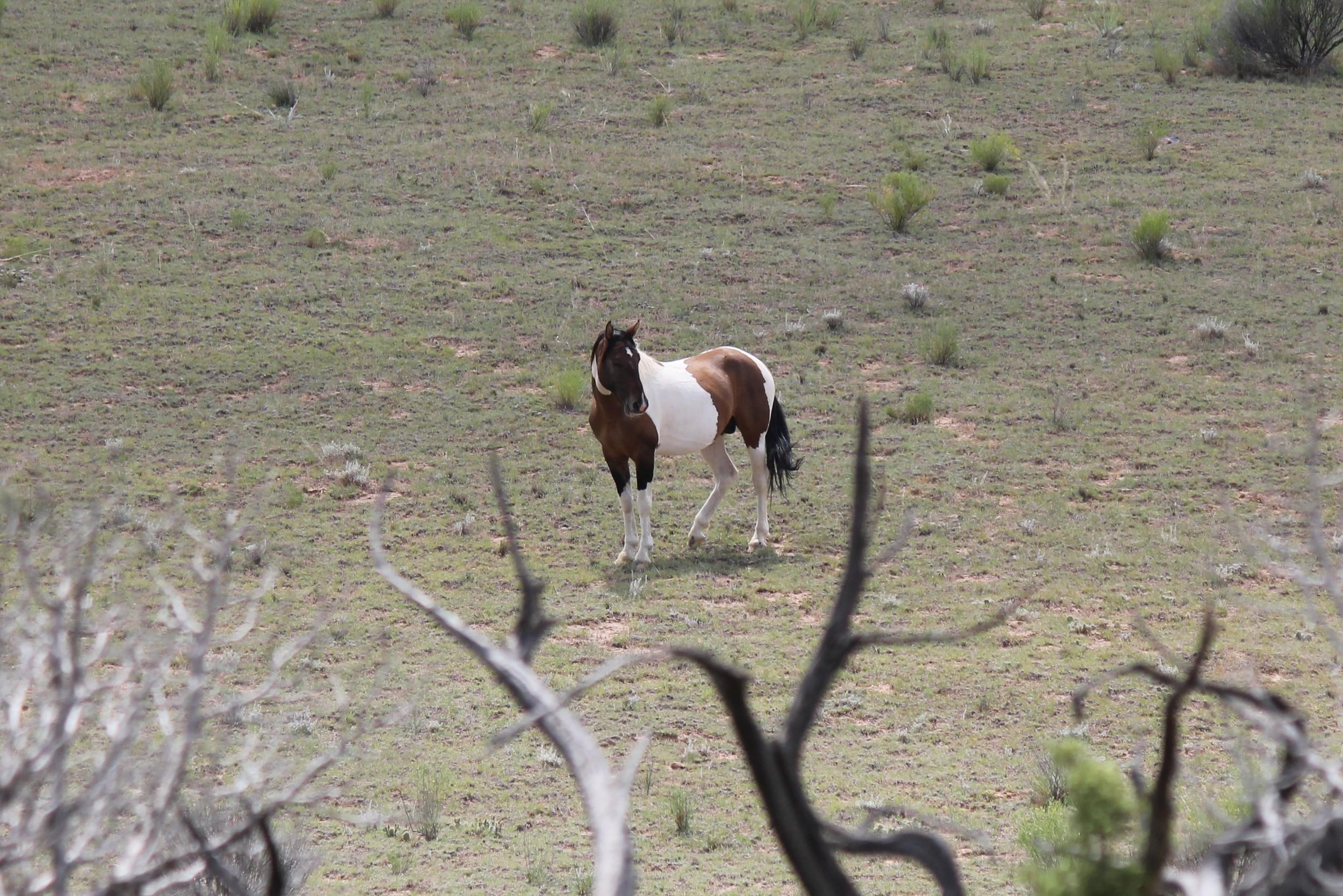 Stallion at Justesen Flats 2.jpg