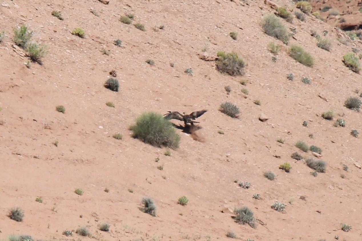 Young Golden Eagle landing.jpg