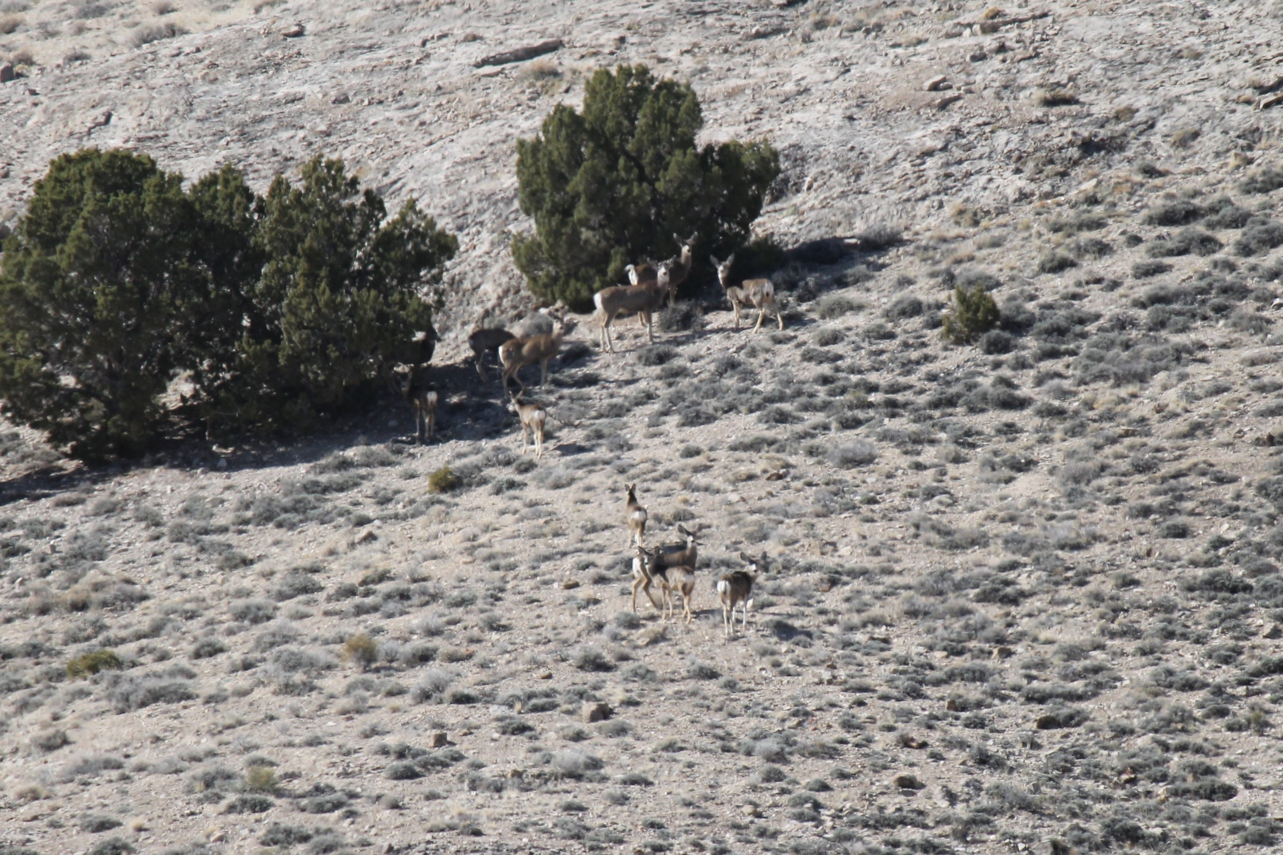 Mule deer below Plympton Ridge.