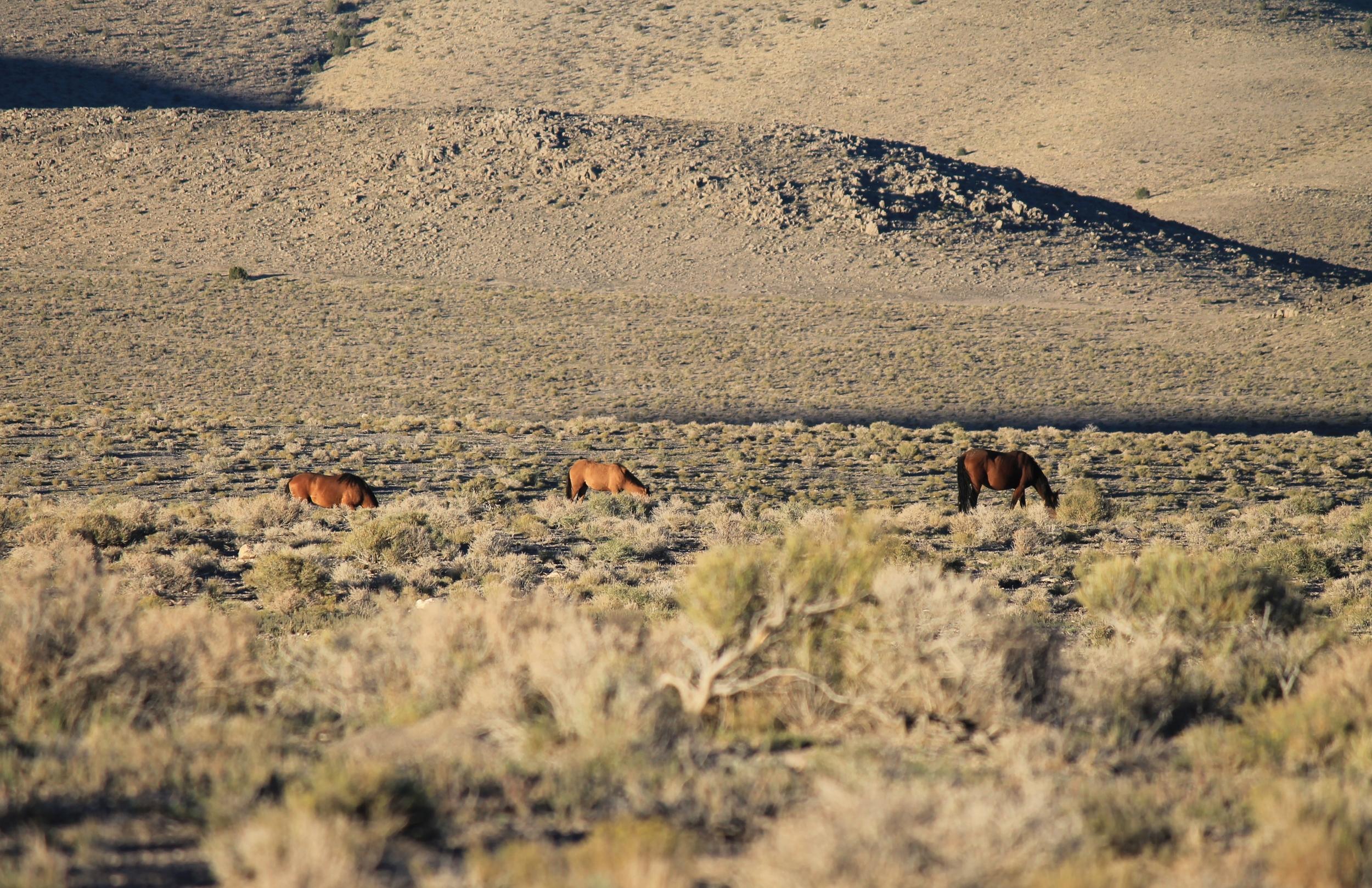 Grazing near Antelope Spring