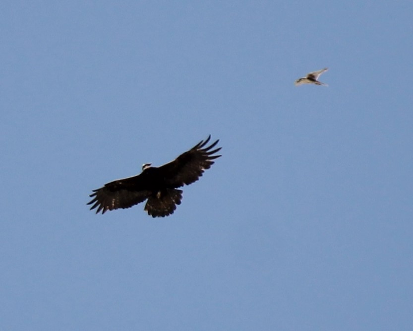 Prairie Falcon harrassing a Golden Eagle above Pyramid Knoll