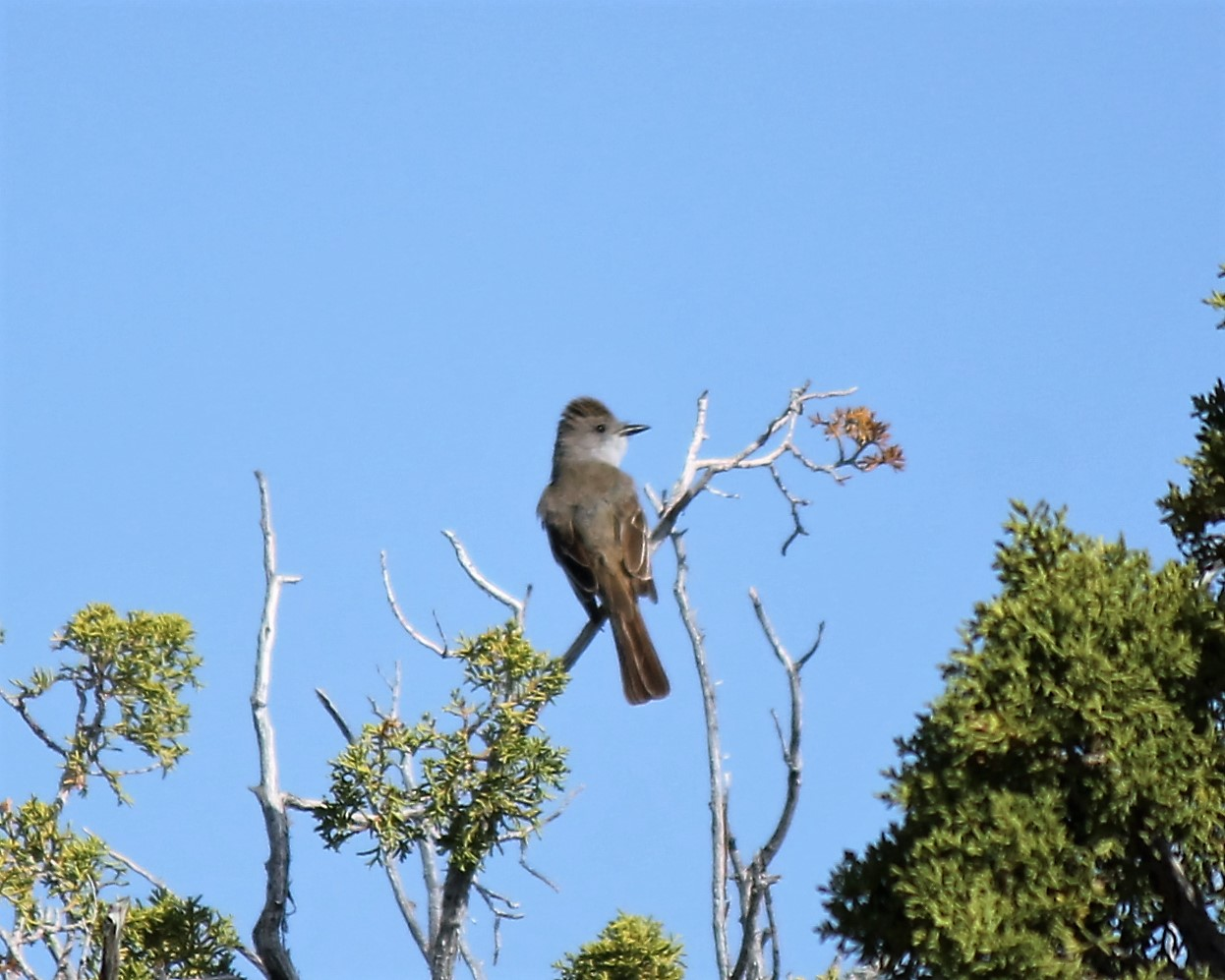 Say's Phoebe in juniper woods