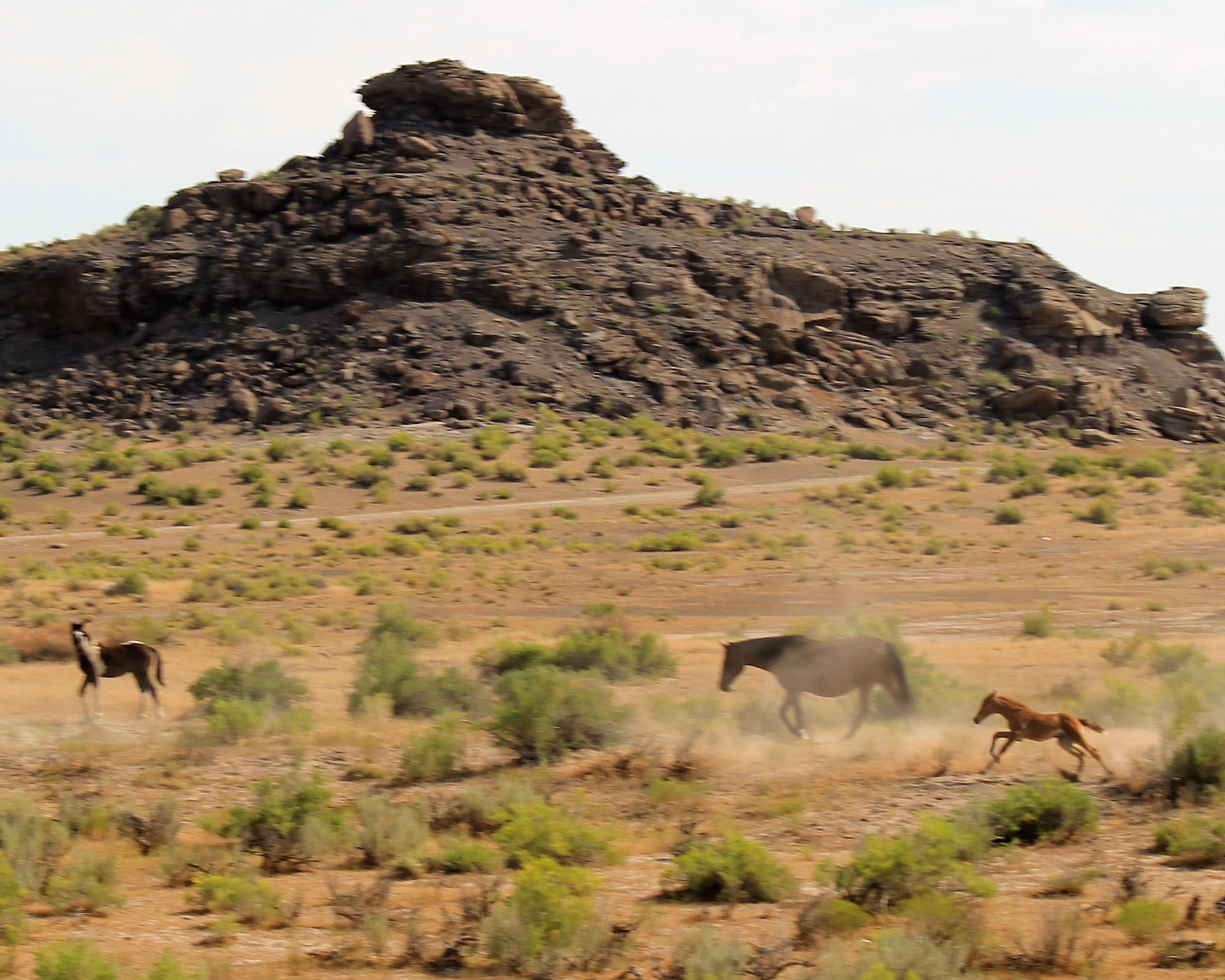 Young foal racing through the herd