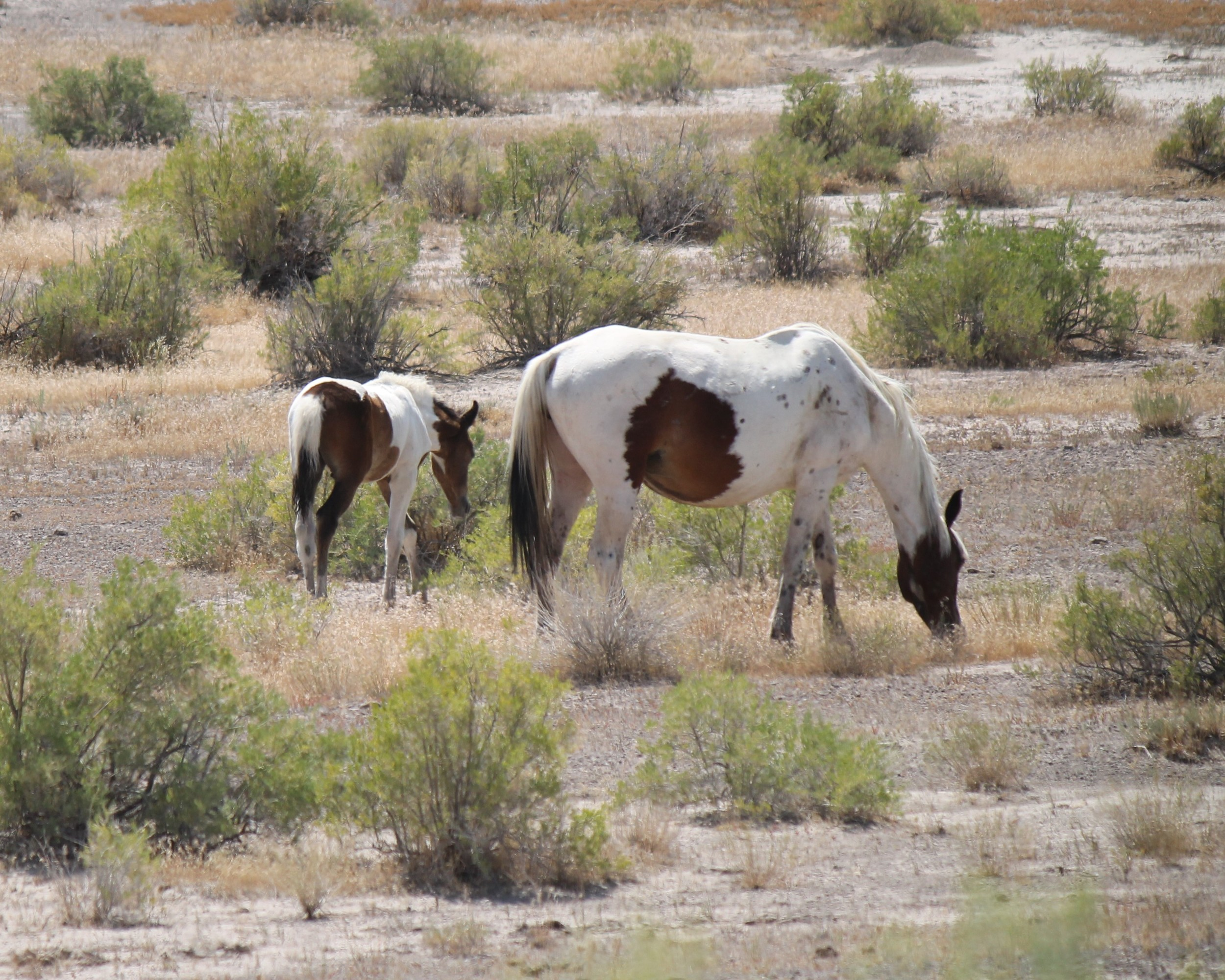 Mother and foal beside Seep Ridge Rd