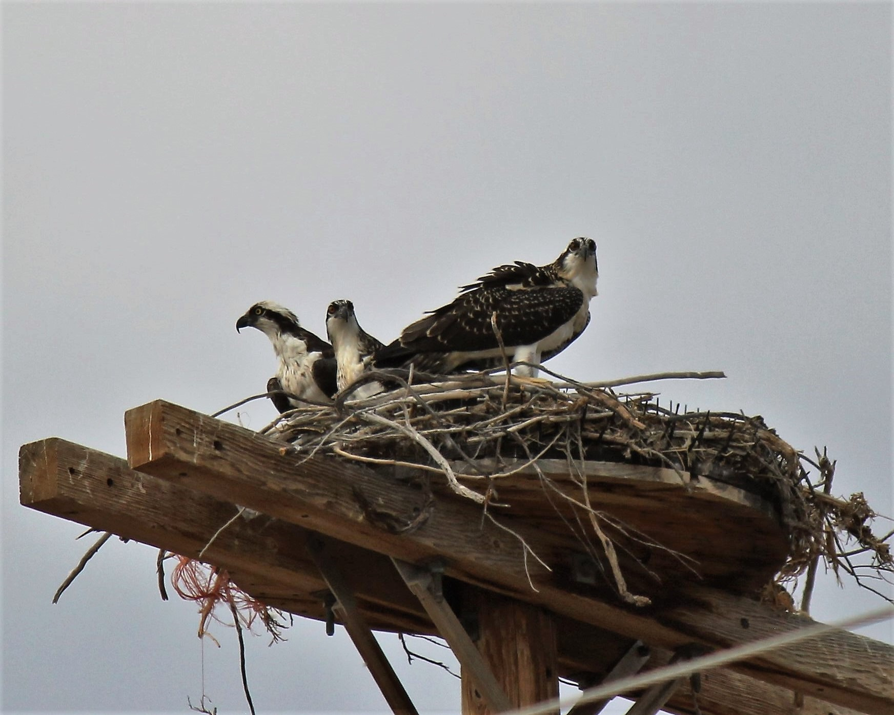 Osprey at Pelican Lake