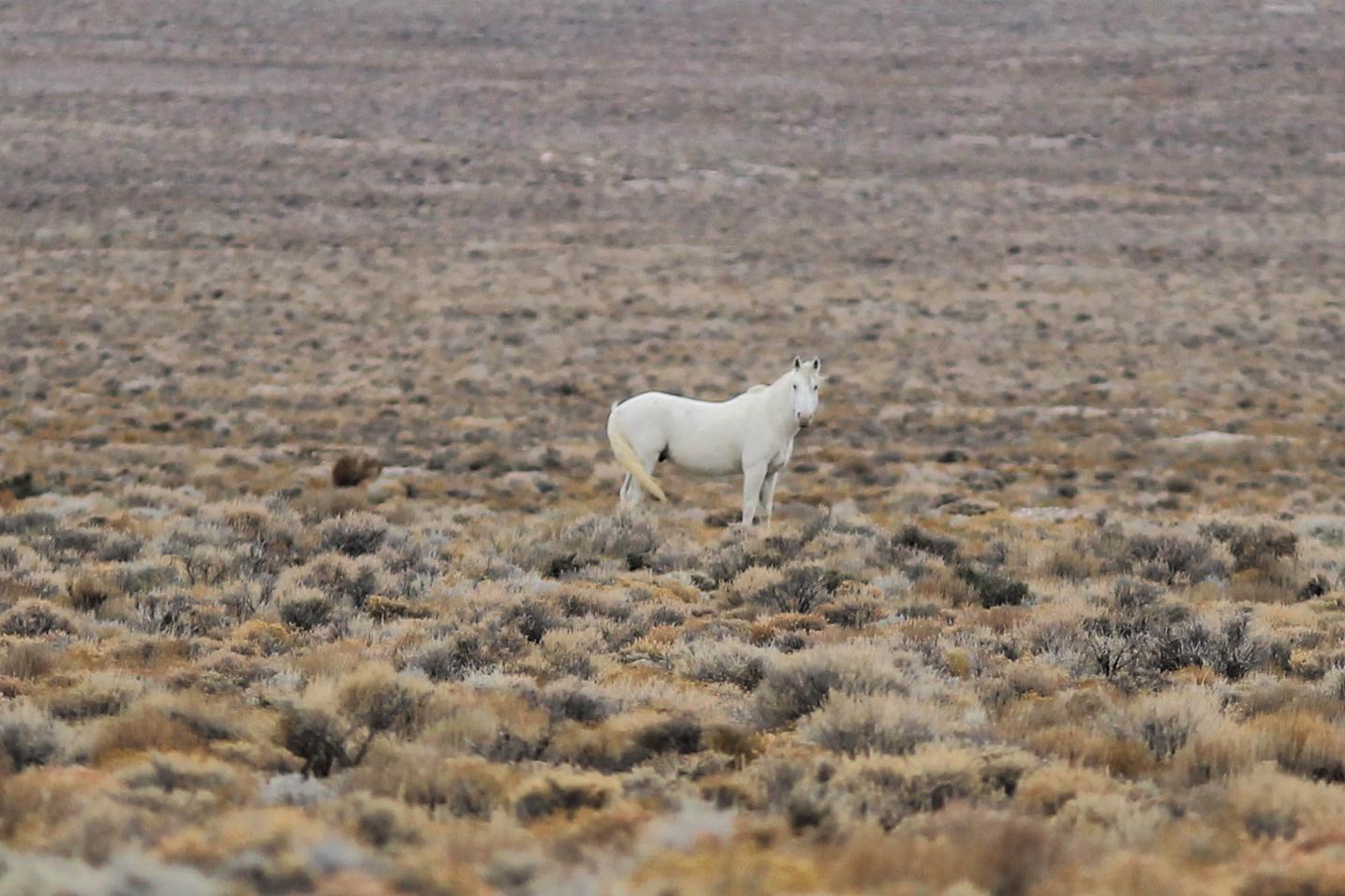White Stallion near Swasey Spring Road