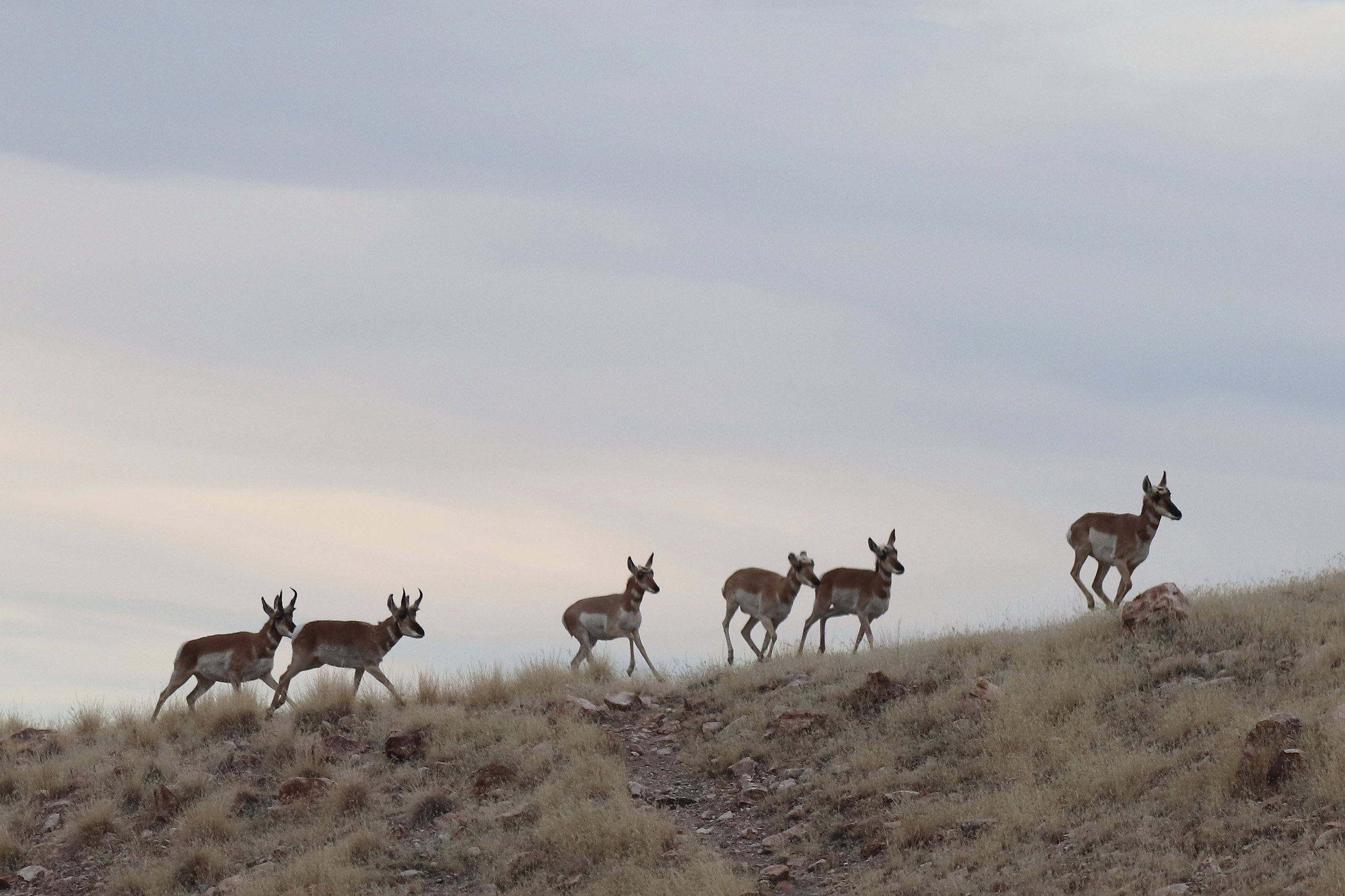 Pronghorns in the Davis Mtn foothills