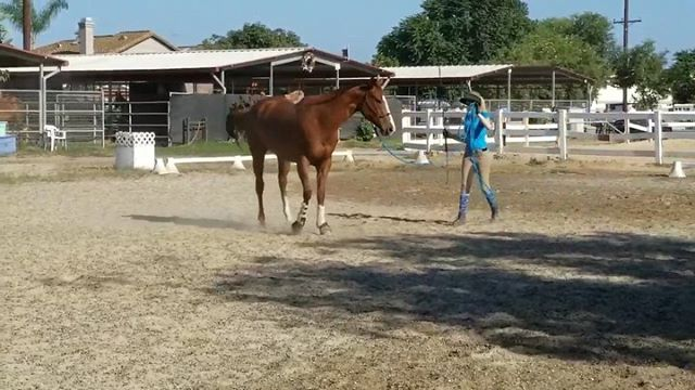 Side passing on the ground -off the rail. One of my favorite exercises, also part of Liberty prep. Objective is to get your horse to side pass by crossing over their inside leg over their outside leg while moving away from you sideways. Eventually, I will be able to do it with more slack in the rope, further distance and eventually no rope. 😏 in due time. To teach this, you will want to start on the fence. (3rd video) Starting them on the fence will help you teach the side pass without them wanting to go forward. So, stand them facing the fence, put your rope hand up to cue for the moving, use your stick to tap on the shoulders to encourage the front leg to step over, then tap the haunches to encourage the hind to move and cross over. You will alternate between the two to get 1-2 steps at a time. Remember, start simple and slow, until they learn. If they back up, point up high to ask them to step up to the fence, if you need them to back up, I tap the rope with the stick for the back up cue. You will see me use this in the first two videos. I'll start Sugar on this this week to show you a horse who doesn't know the exercise yet. #ottb #downunderhorsemanship #thoroughbred #groundworkexercises #libertyprep #equineracers #exracehorses