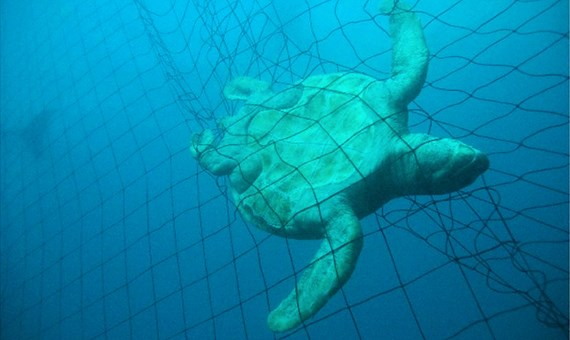 The Report lists five turtles caught in the trial period, one Green Turtle died on the net.
