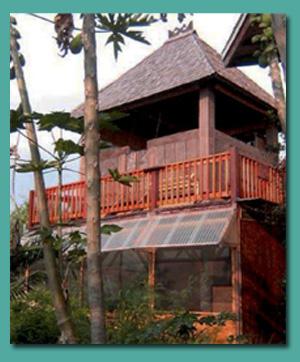 hawaii_timor_tall.jpg