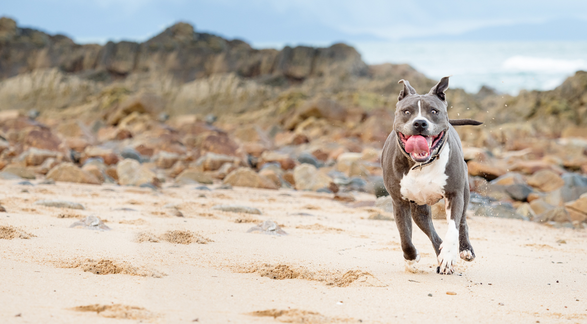 Lacey the Amercian Staffy during her pet photography session at Lamberts Beach Mackay