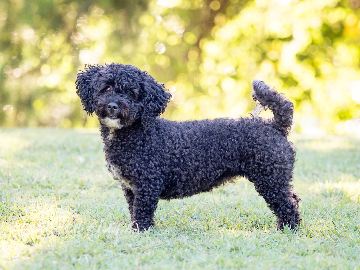 Lily the poodle