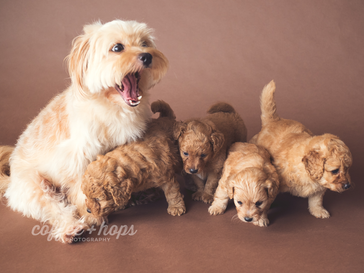 Coco & Her Puppies during their pet photography session at home, in Mackay