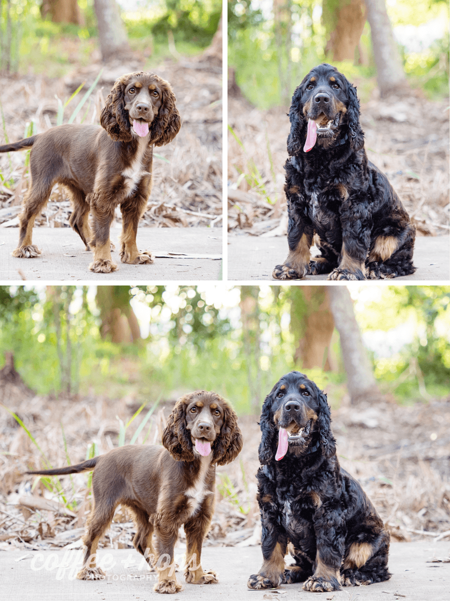 While they do love each other, Jerzi & Lexi weren't that keen on standing beside each other during their session. So we took their images individually, and then composited them together. Leashes were also removed, along with a fence in the background.