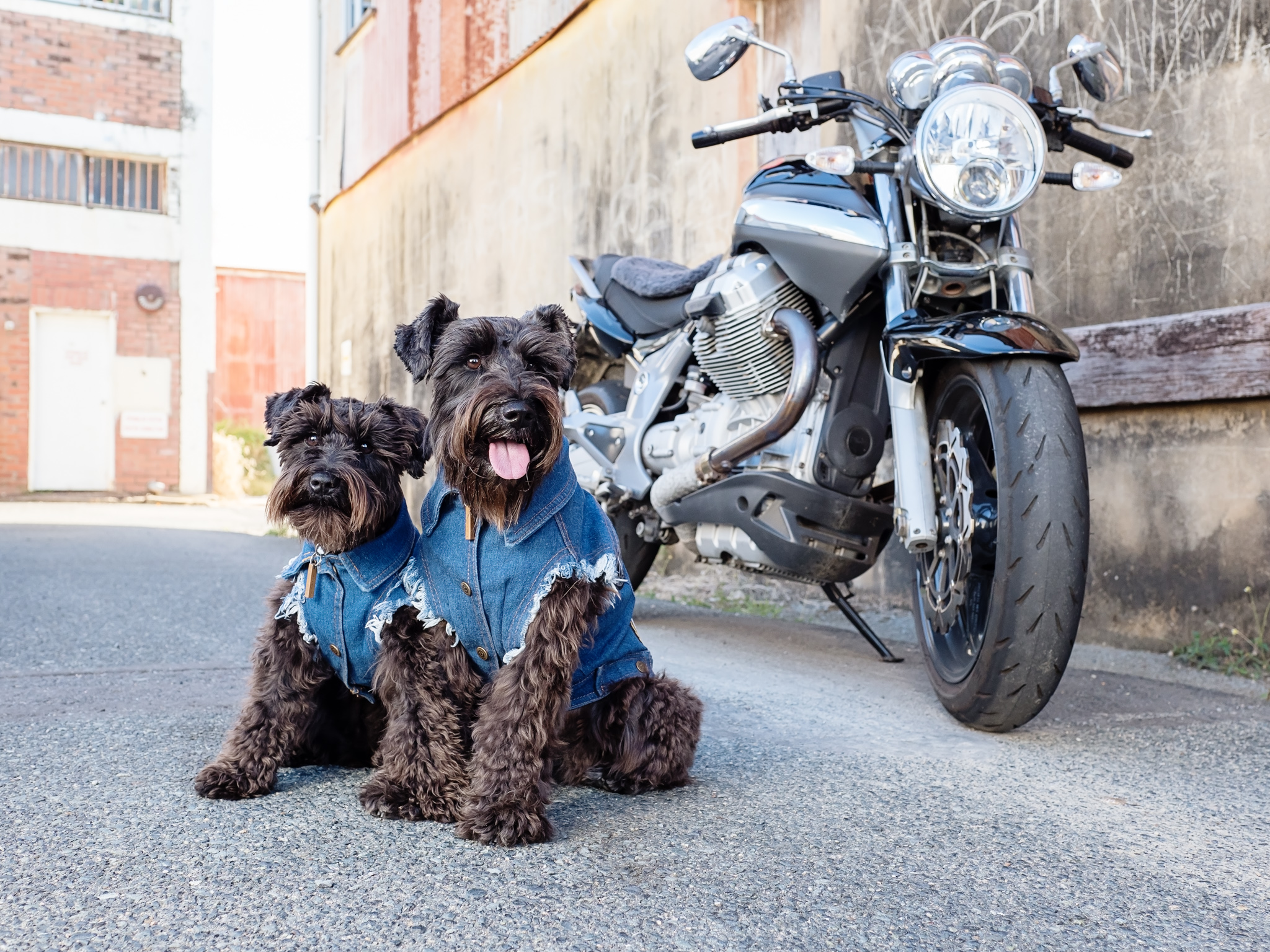 Axle-Violet-Mini-Dog-Session-Mackay-Laneways-with-motobike.jpg