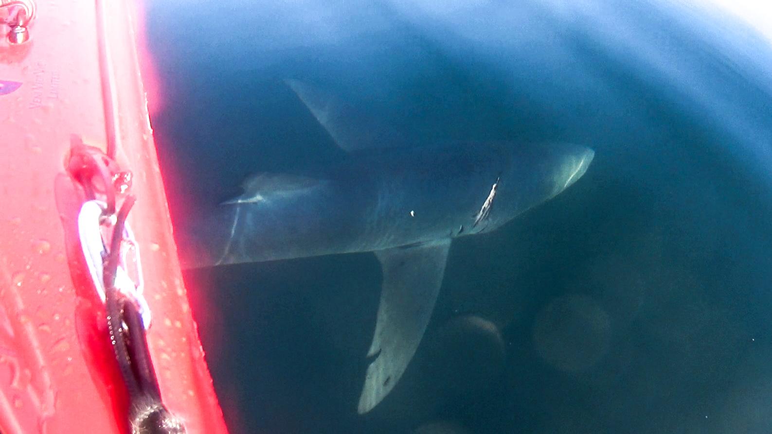 Bitey the Shark, my new bff
