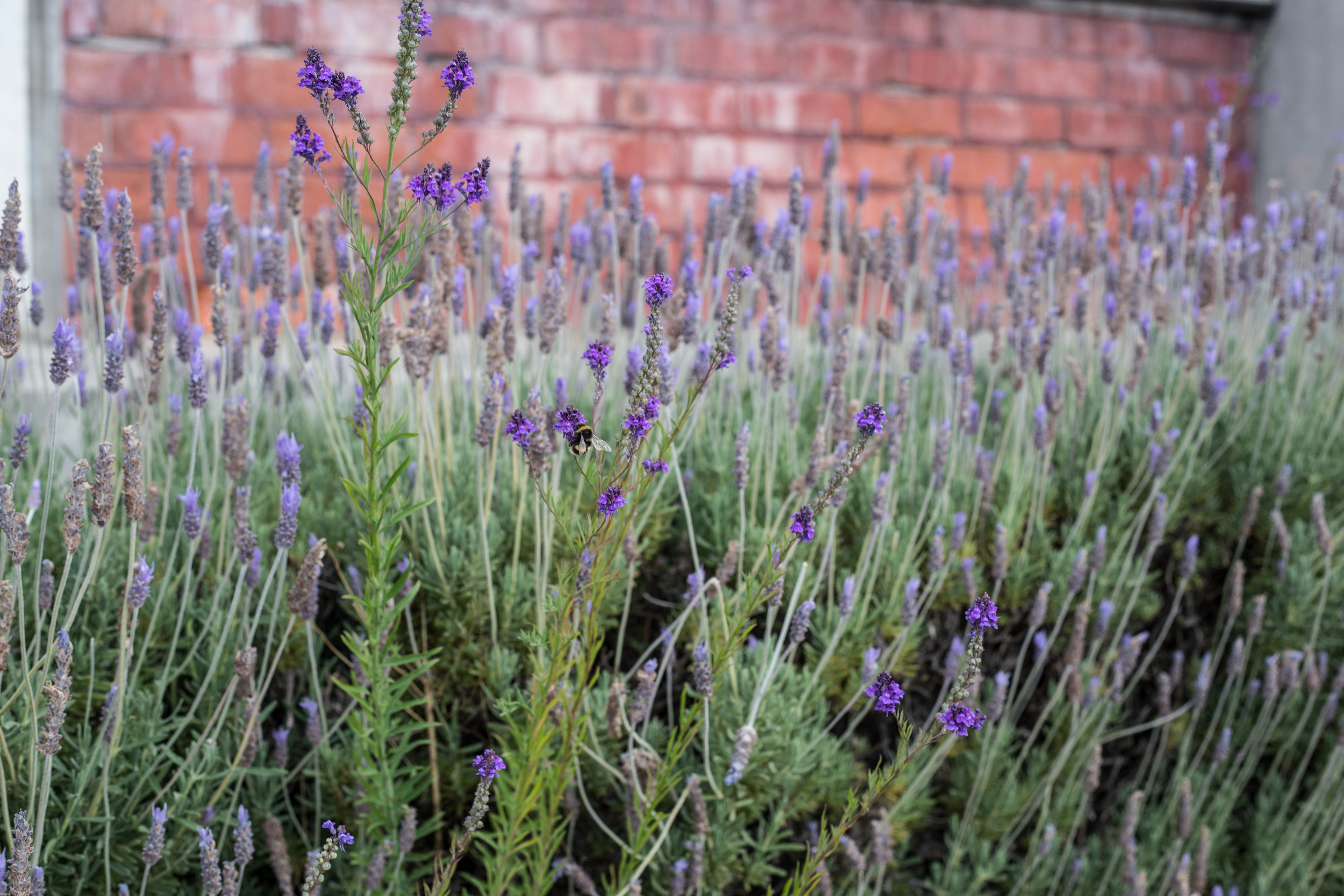 Bumble bee in the lavender
