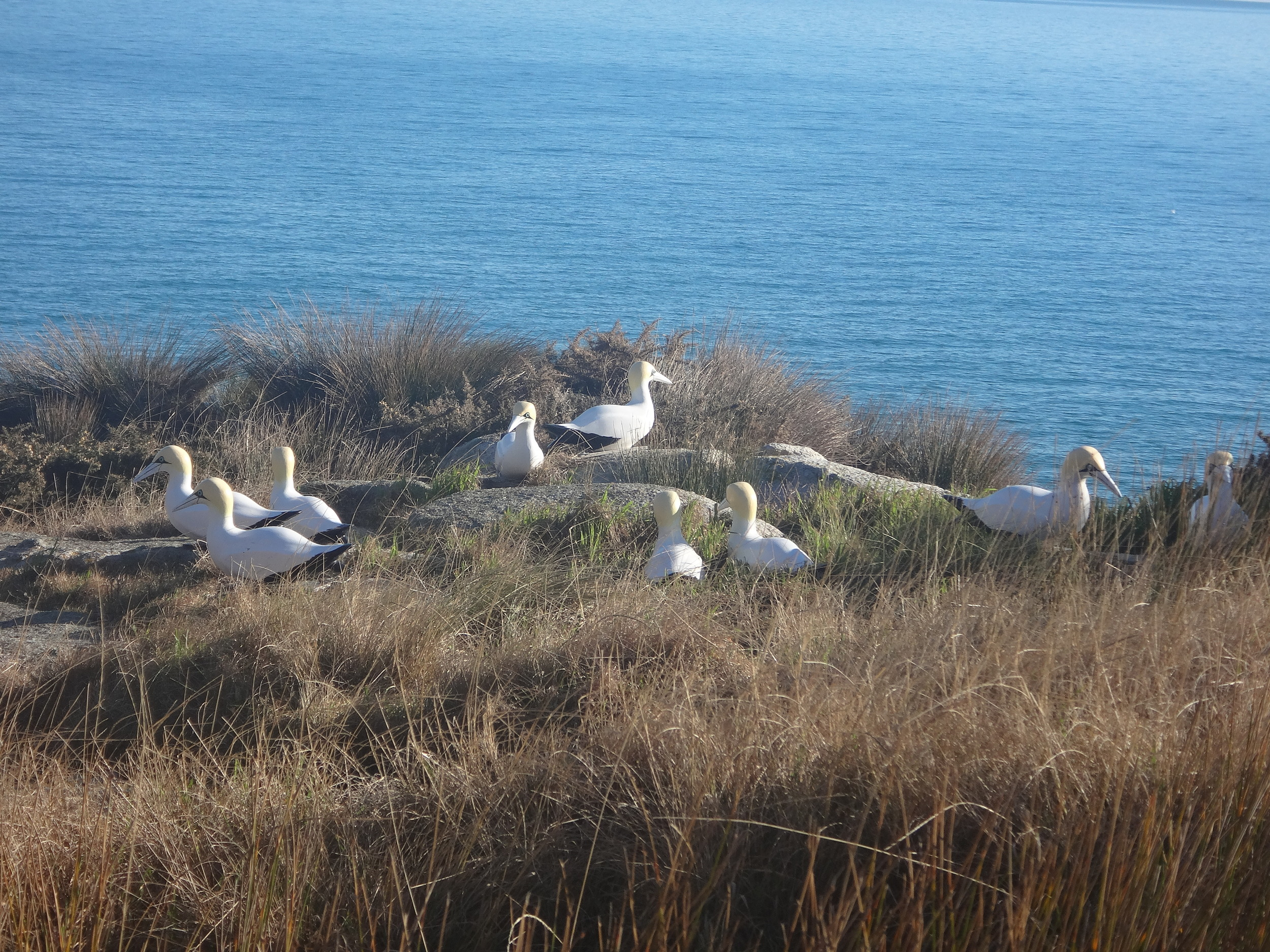 Really,Gannets?