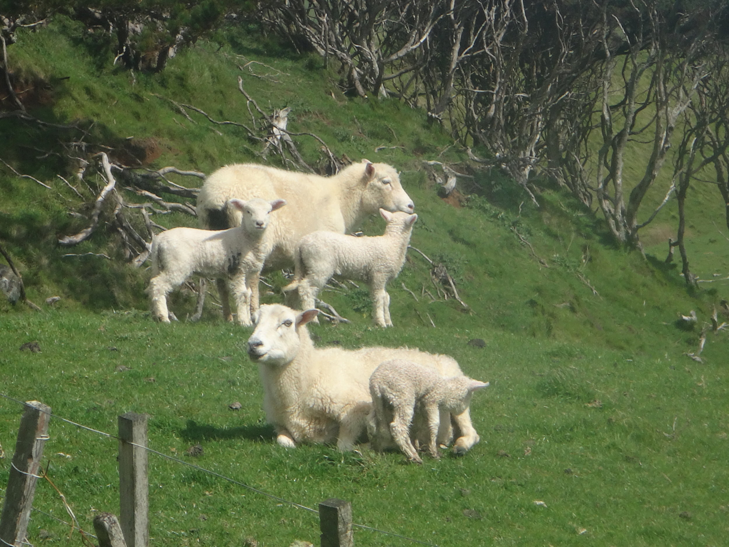 Lambs and the green pastures.