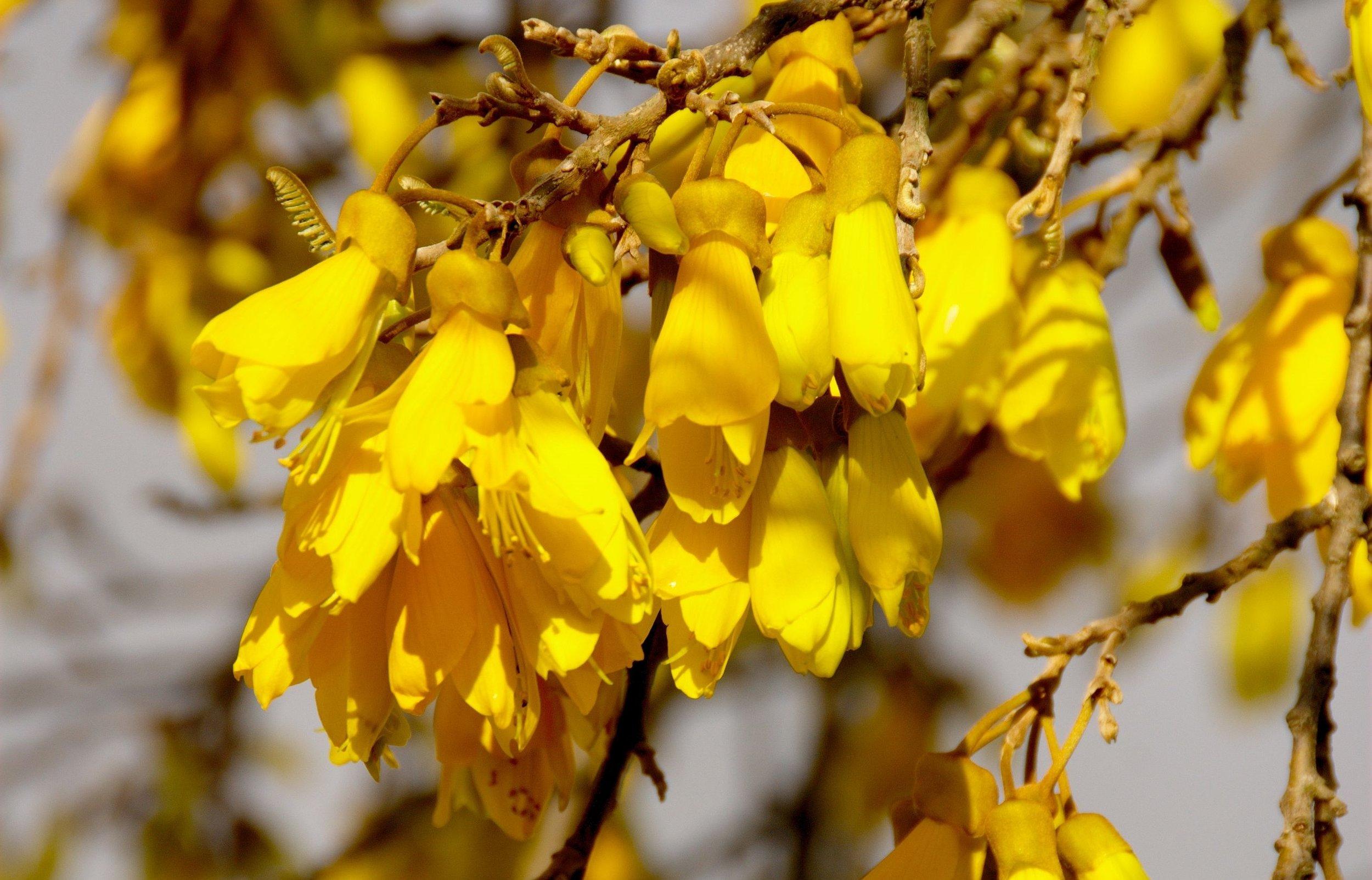 Kohwai flowers.